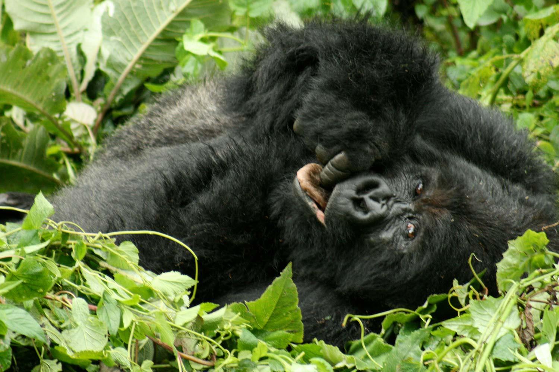 21 Days Grand Uganda Budget Safari - Great Apes Tours