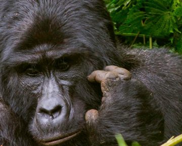 4 Days Double Gorilla Trekking Uganda