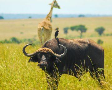 8 Days Uganda Gorillas & Wildlife Safari