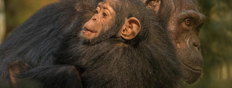 9 Days Rwanda Primates Safari