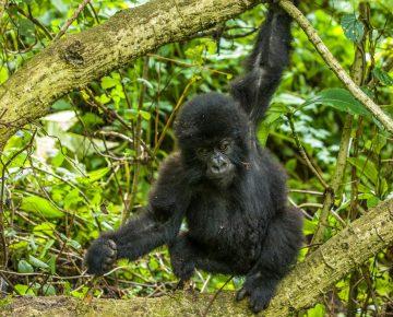 2 Days Uganda Gorilla Tour from Kigali